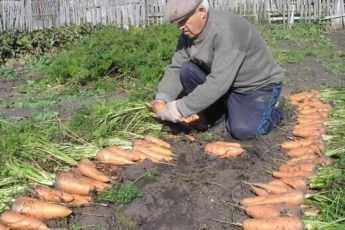 Чтобы урожай моркови был чистым, без всевозможных гнилей, болезней